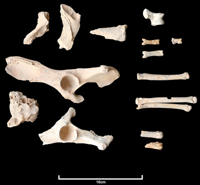 Twenty-six fragments of a dog's bones were found at a burial site in the basalt volcanic uplands of AlUla in north-west Saudi Arabia, along with bones from 11 humans. Dated at circa 4200 to 4000 BCE, this is the earliest known domesticated dog in Arabia.