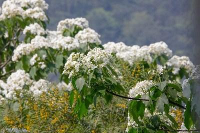 Los árboles de Tung ya están floreciendo en el lugar turístico de la montaña Tianzhu en el distrito de Haicang.